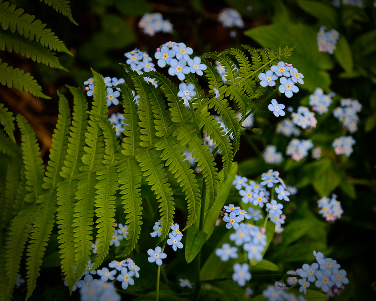 Fern and Forget-me-not