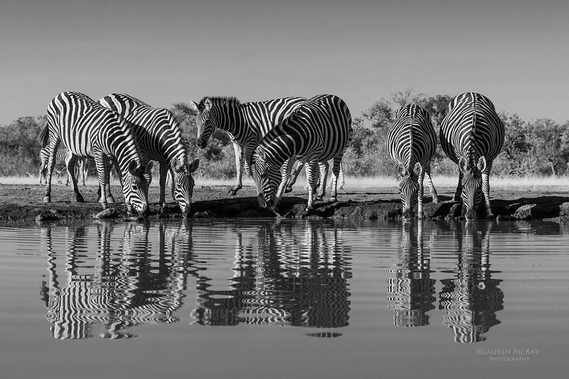 Burchell's Zebra, b&w, Mashatu GR, Botswana, May 2017-2.jpg