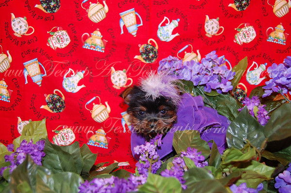 DONATED Yorkshire Terrier 2264 ( Aleah P. )
