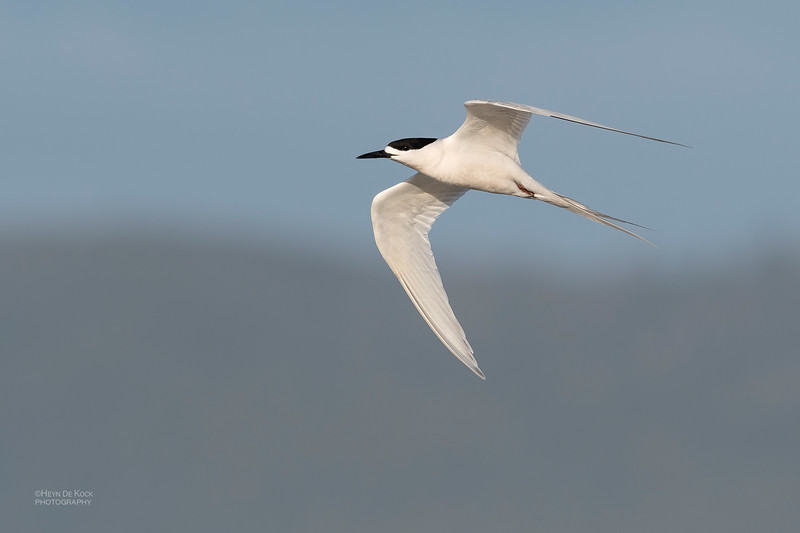 White-fronted Tern, Greymouth, SI, NZ, Sep 2018-1.jpg