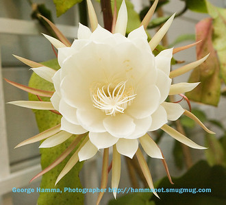 Night-Blooming Cereus 2-060903