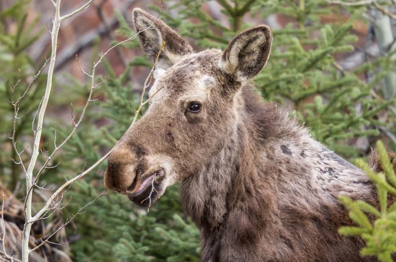 Moose calf Yellowstone National Park WY IMG_7212.jpg