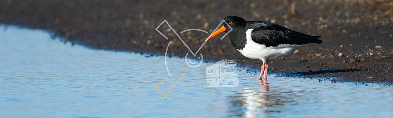 The Eurasian oystercatcher at the shoreline of a small lake in Iceland