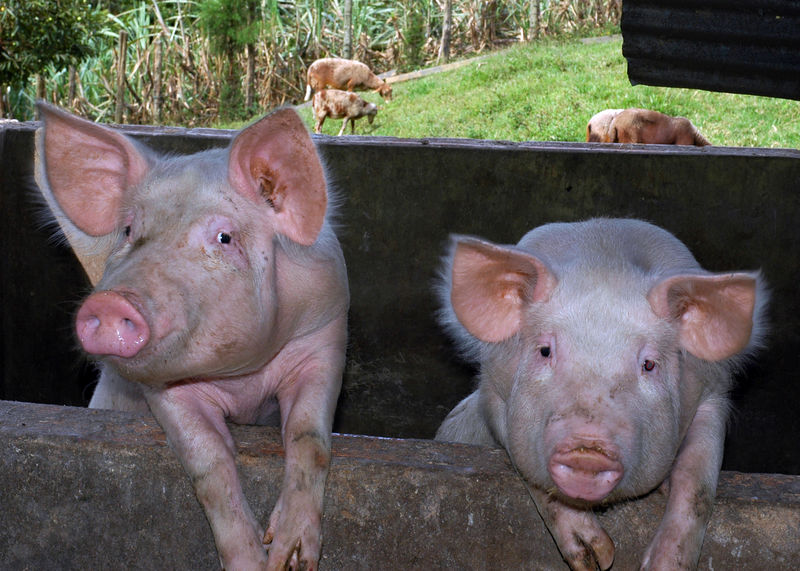 Two little piggies.jpg