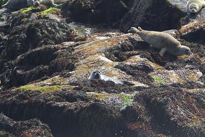 Seals - Grand Manan