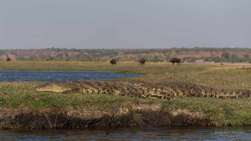 Nile Crocodile, Chobe River, NAM, Oct 2016-4.jpg