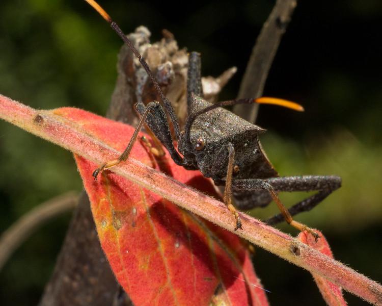 DX8649 Leaffooted Leatherbug.jpg