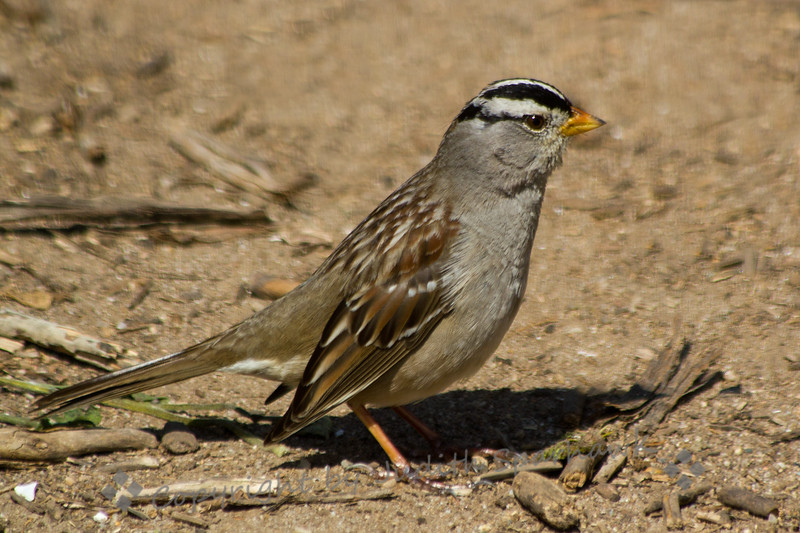White-Crowned Sparrow ~ This White-crowned Sparrow was photographed at Bolsa Chica Estuarine Reserve in Huntington Beach, CA.