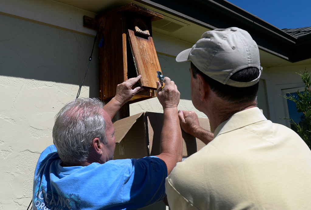 . LITTLETON, CO - JUNE 20: Tony Head, left, and Tom Bush carefully remove the baby kestrels from their nest. Bird experts and bird enthusiasts gather at the home of Tom Bush who has five baby kestrels nesting in a box attached outside his house. Licensed bird-bander and falconer Tony Head form the Colorado Hawking Club, joined the group so he could place bands on the bird so that they can be followed and studied. The kestrel is north America\'s smallest falcon and has seen a recent drop in its population. (Photo by Kathryn Scott Osler/The Denver Post)