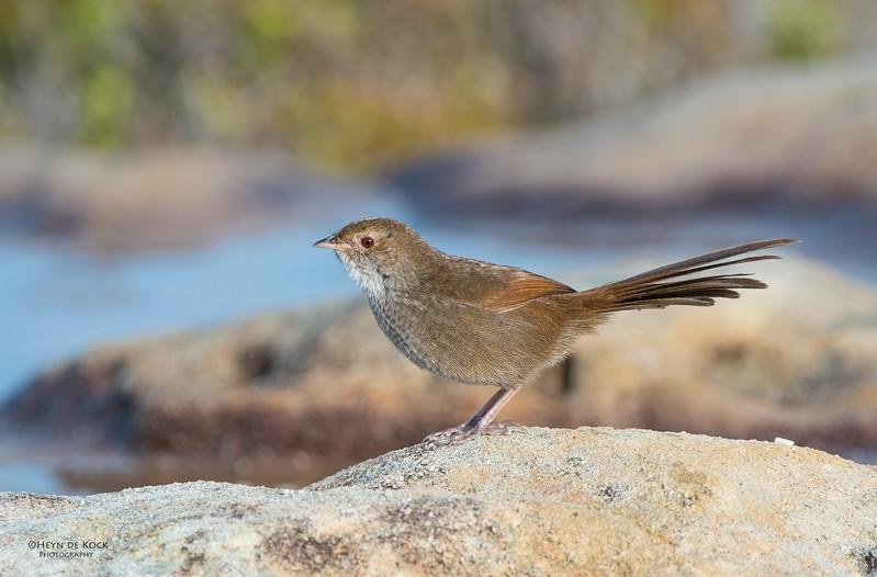 Eastern Bristle-bird, Booderee NP, NSW.jpg