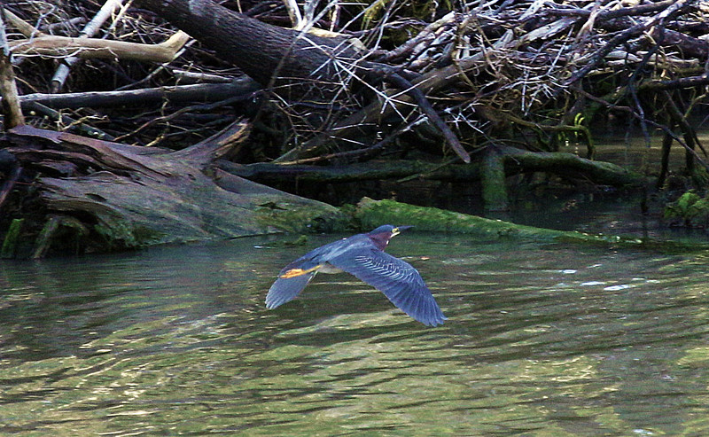 We can hardly see this well-camouflaged Green Heron skimming the canal ...