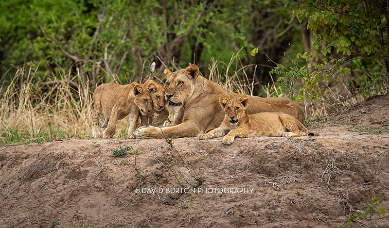 Bili_Lion-n-cubs_1273cc2fxcrop-web.jpg