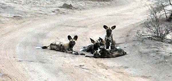 A pack of young wild dogs.