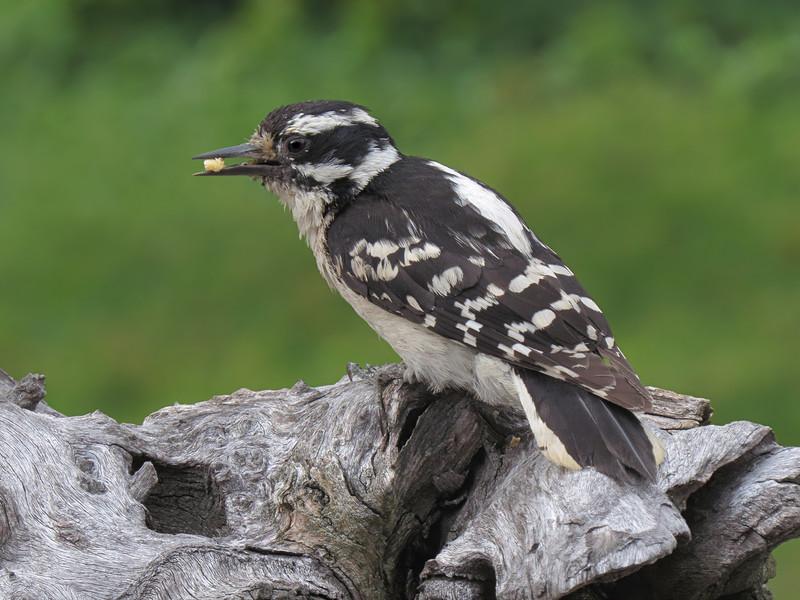 sx50_downy_woodpecker_boas_391.jpg