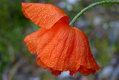 DAY 175 - June 24, 2011 - Poppy Blossom After a Light Drizzle Cynthia Meyer, Tenakee Springs, Alaska