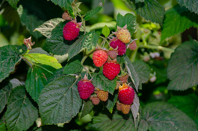 Canby Raspberry (Rubus idaeus var. strigosus)
