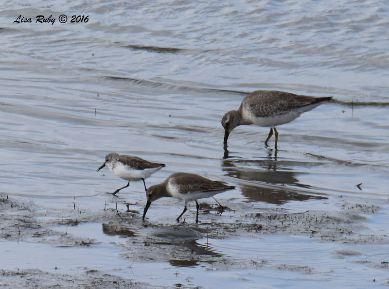 Western Sandpiper, Dunlin, Red Knot - 10/4/2016 - Robb Field