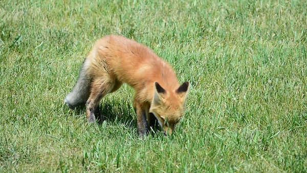 6-14-15 Red Fox Pup Video