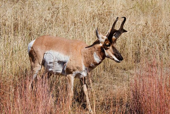 Pronghorn - Custer State Park - Black Hills, SD