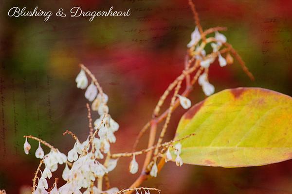 IMG_0724 blushing dragonheart.jpg