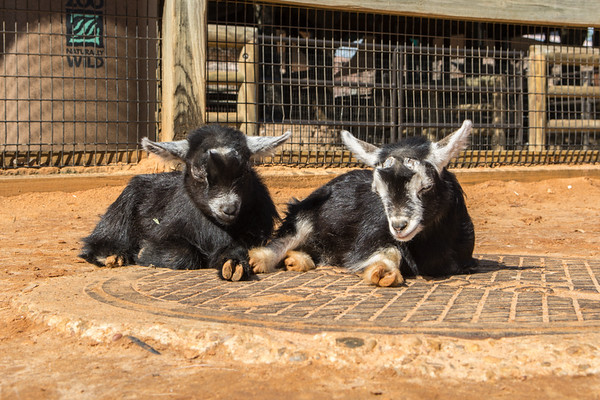 Baby Goats in the Contact Yard