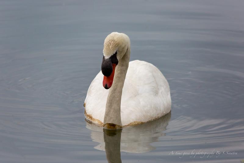 mute swan signed-47.JPG