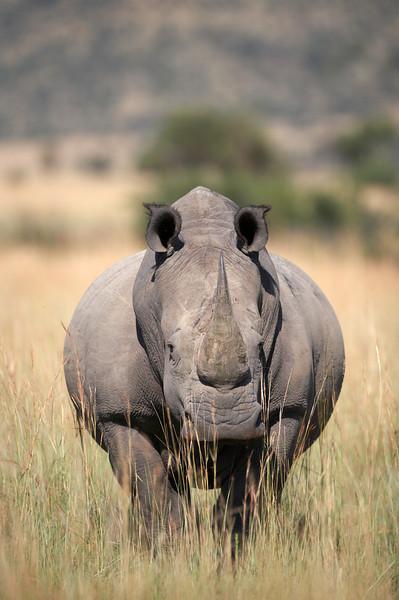 Rhino - 5532.jpg