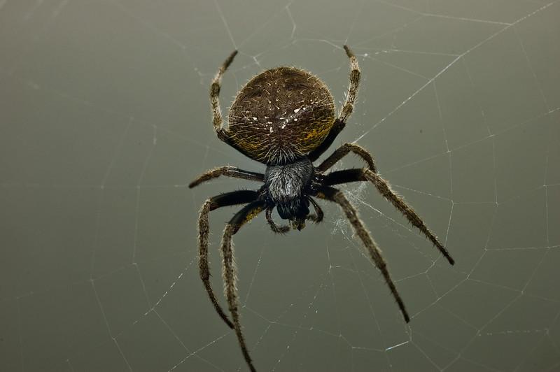 Garden Orb Spider-9040.jpg