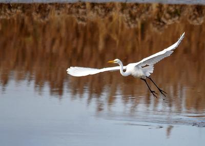 Great White Egret Take-off - Bombay Hook NWR - Delaware
