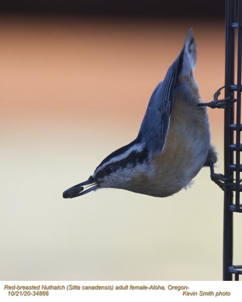 Red-Breasted Nuthatch F34866.jpg