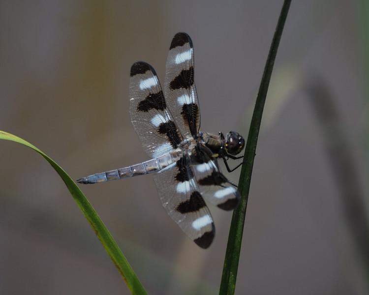 Twelve-spotted Skimmer, male