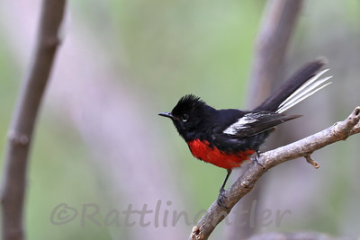 Painted Redstarts