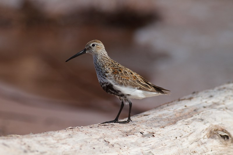 Dunlin Wisconsin Point Superior WI IMG_1445.jpg