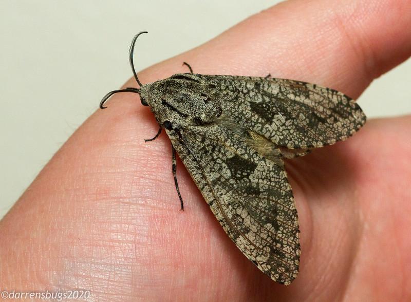 Carpenterworm moth, Prionoxystus robiniae  (Cossidae).