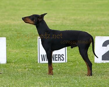 RHKC 2011 - Manchester Terriers Standard