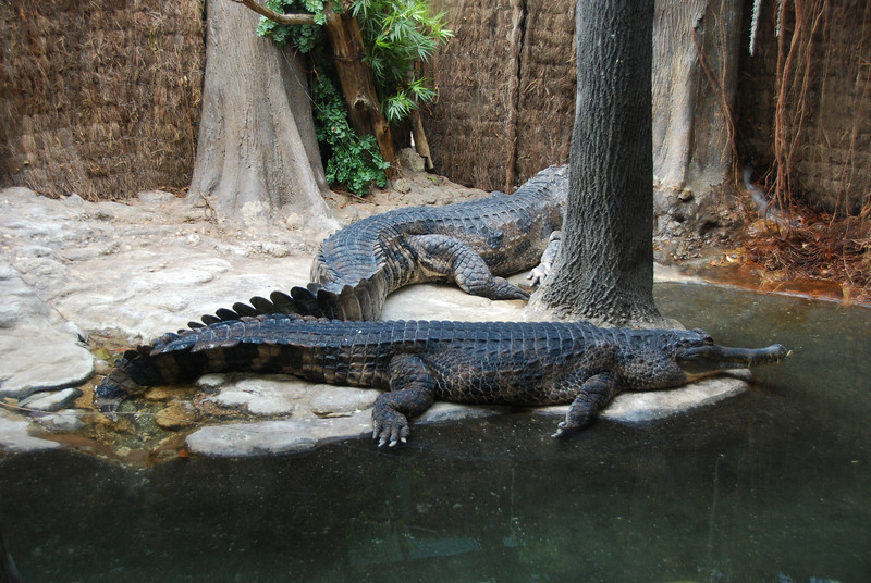 Nile Croc's