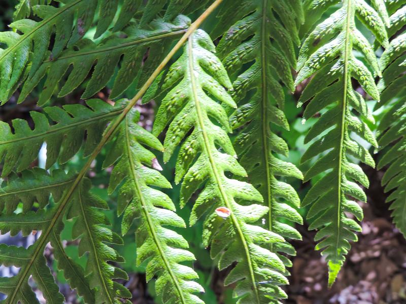 Giant Chain Fern (Woodwardia fimbriata) BLECHNACEAE
