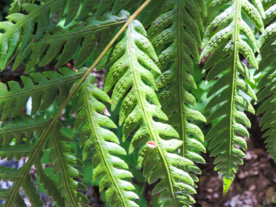 Giant Chain Fern (Woodwardia fimbriata)