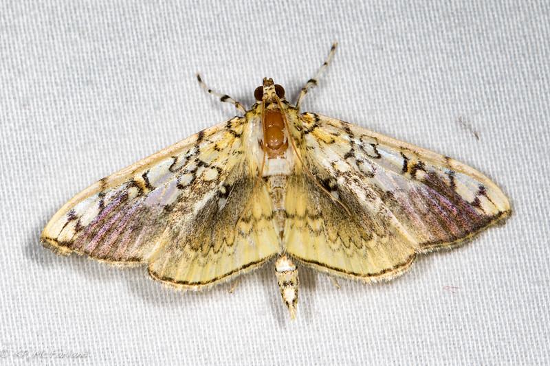 Basswood Leafroller Moth (Pantographa limata)