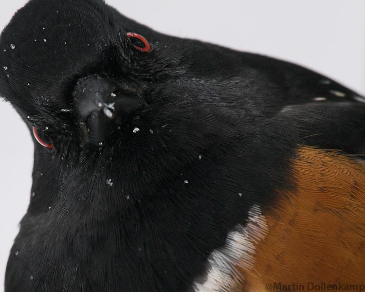 Spotted Towhee Pipilo maculatus