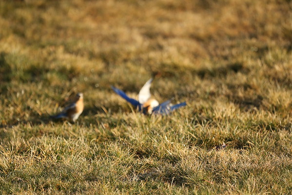 Bluebirds fighting