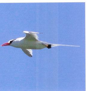 Red-billed Tropicbird, roodsnavel keerkring vogel, Phaethon aethereus