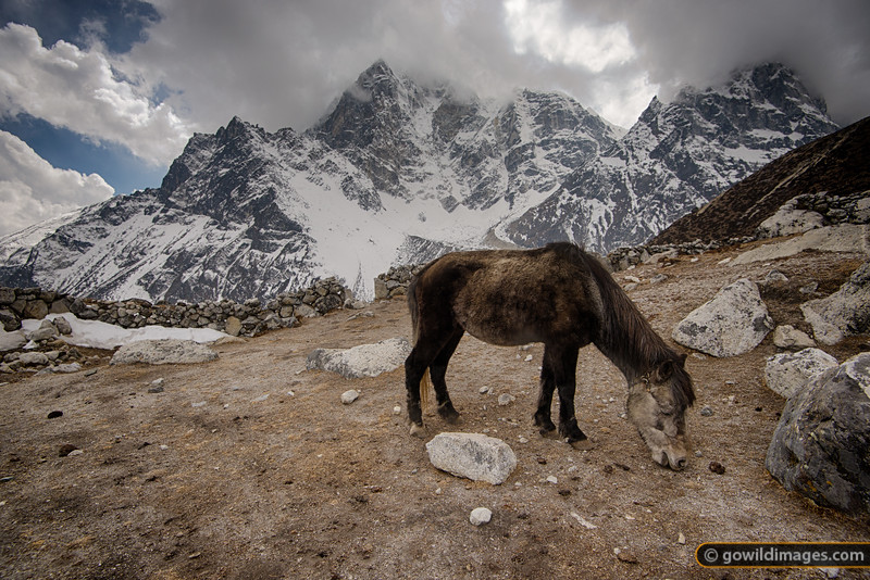 Mule grazing above Dughla, 4600m