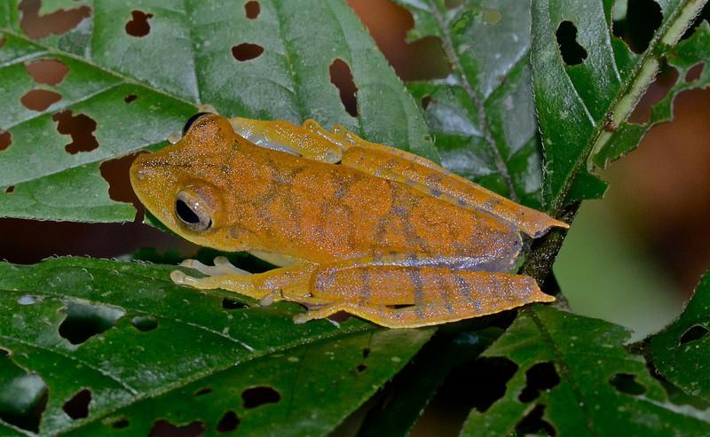 Map Treefrog