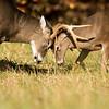 White-tailed deer bucks
