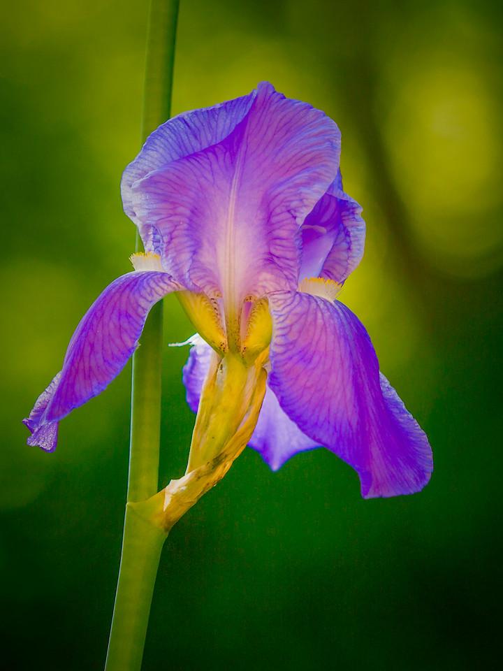 鸢尾花,翩翩起舞
