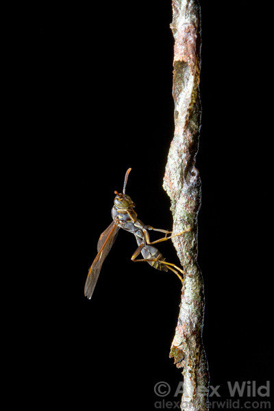 Myschocyttarus sp.