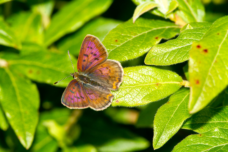 copper Dorcas Copper Lycaena dorcas butterflying with Parker Backstrom and Holly Gray Jay Way at Welcome Center Sax-Zim Bog MN  IMG_0200.jpg