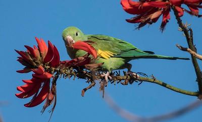 Yellow-chevroned parakeet 1-25-17 Zoo Parking Lot