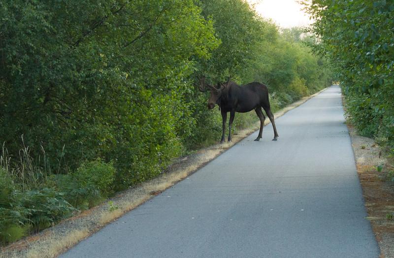 moose-3923.jpg